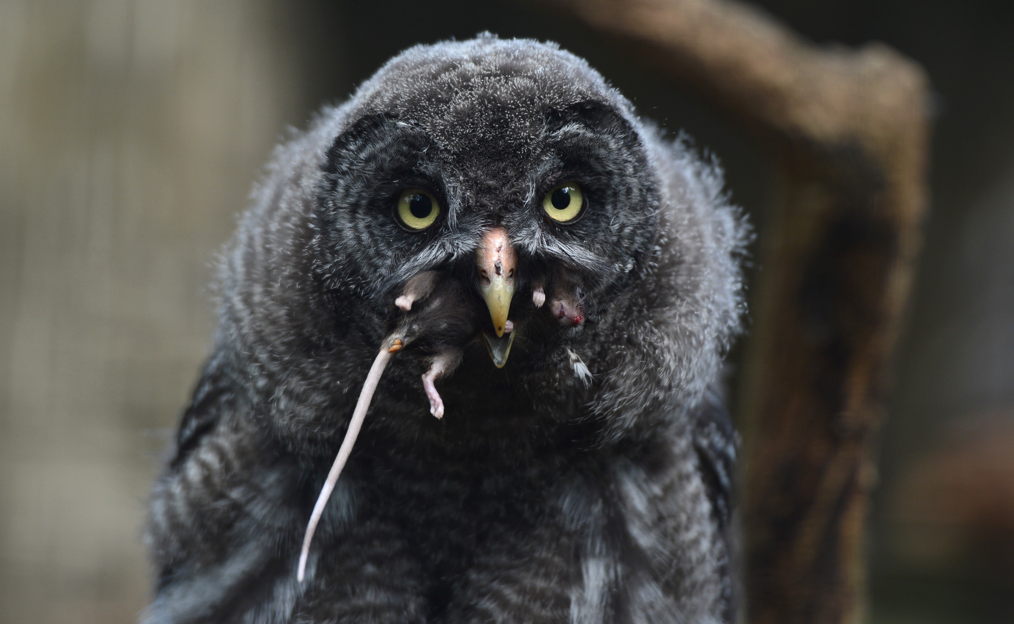 owl catching the mouse - photo #6
